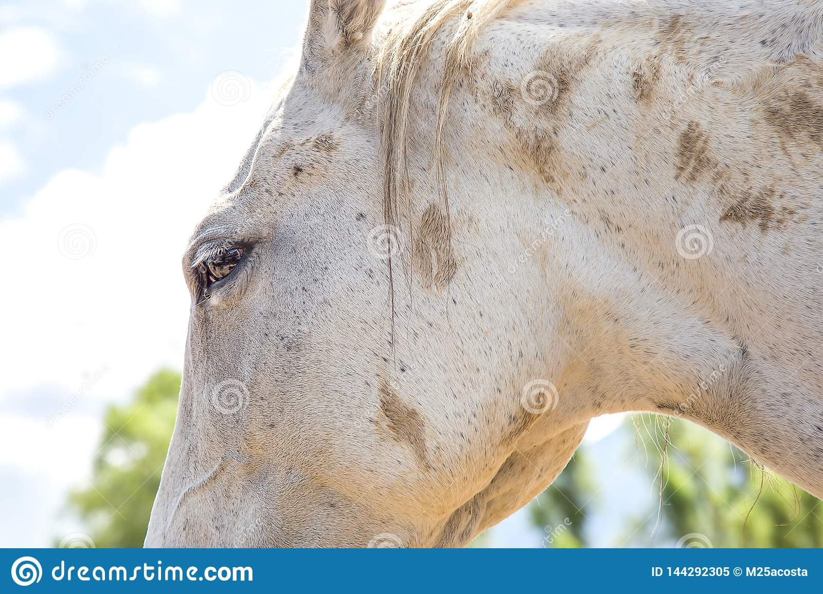 Close-up of the head of a white horse