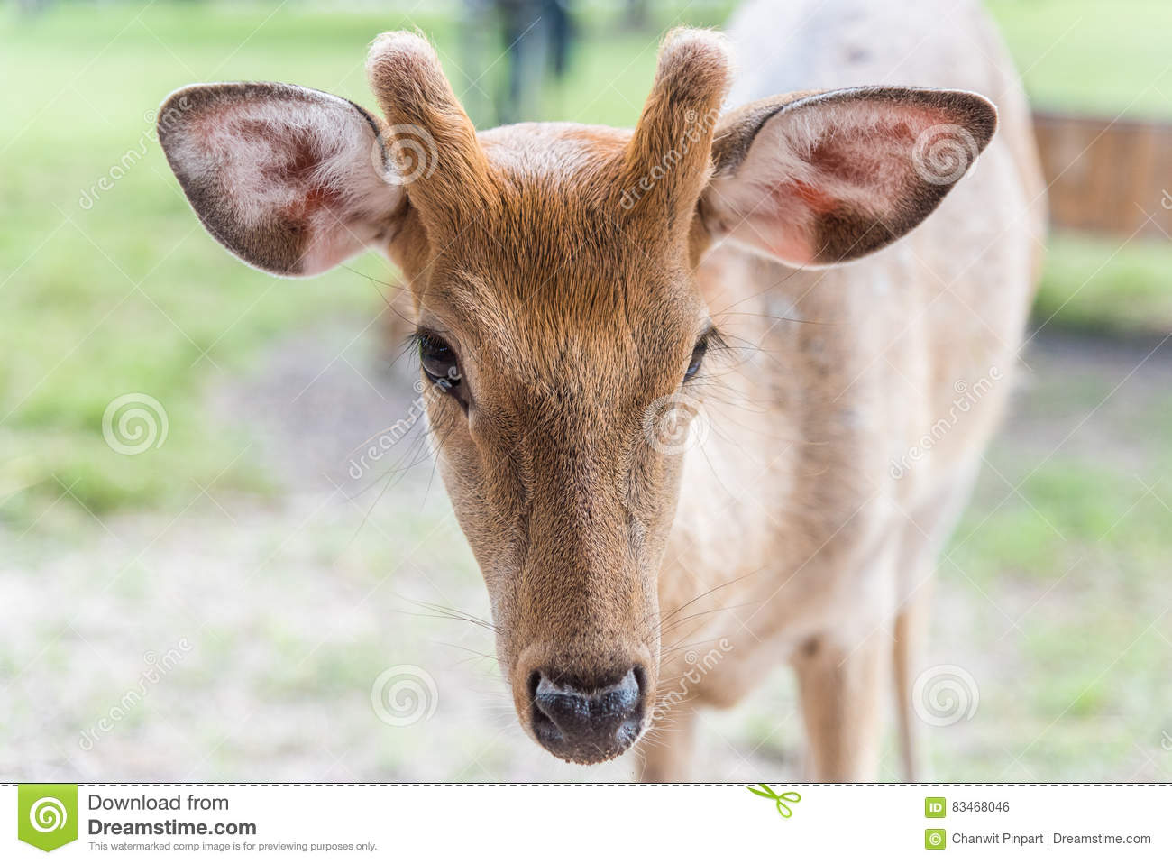 Close up head of white spot deer on green grass
