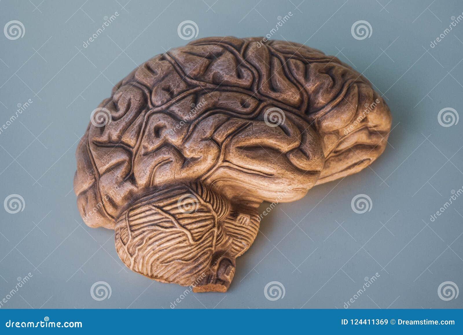 Hemisphere Of Brain, In 3D. Stock Image - Image of anatomy, model ...