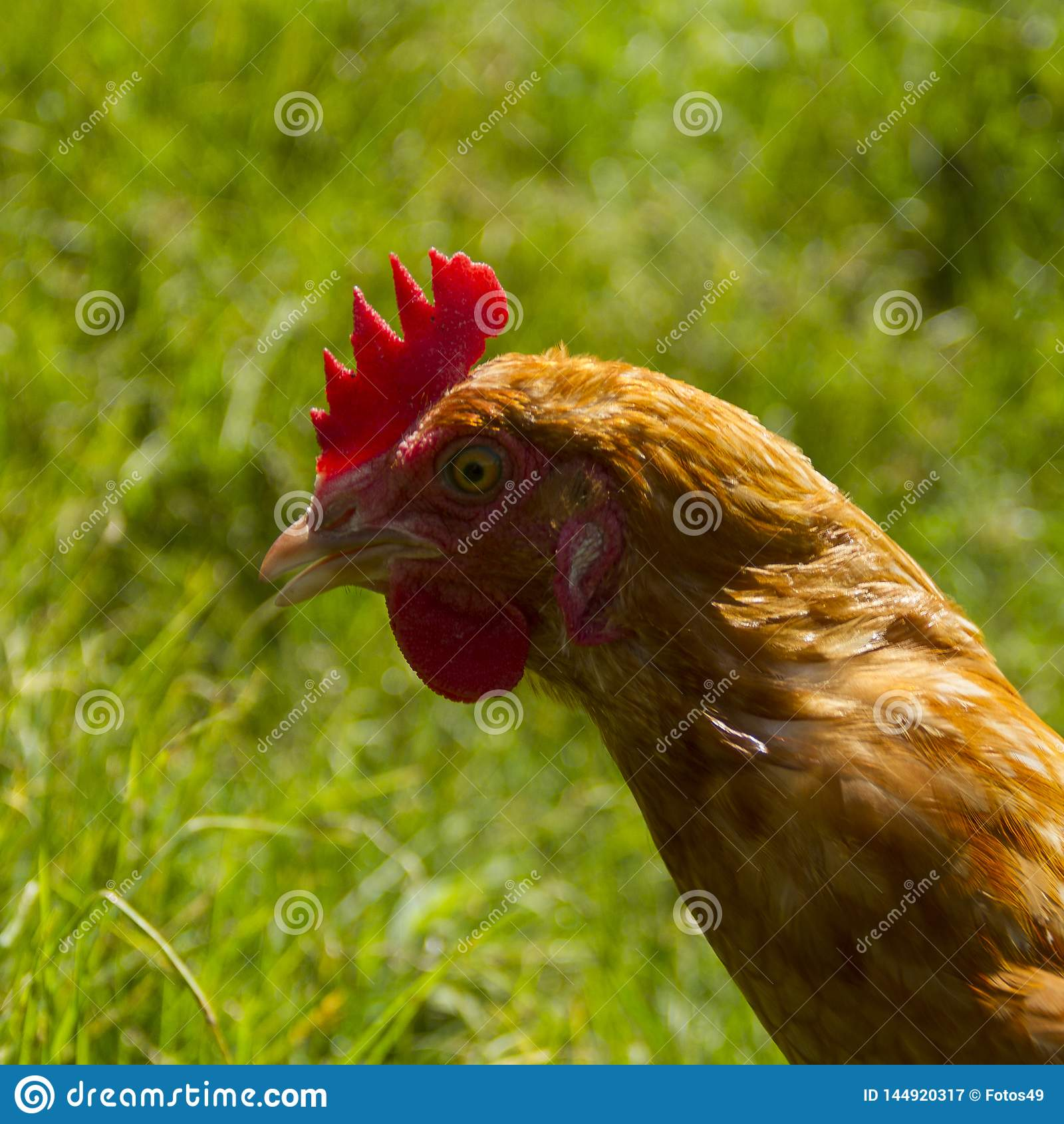 Free hens grazing organic eggs green grass sun day