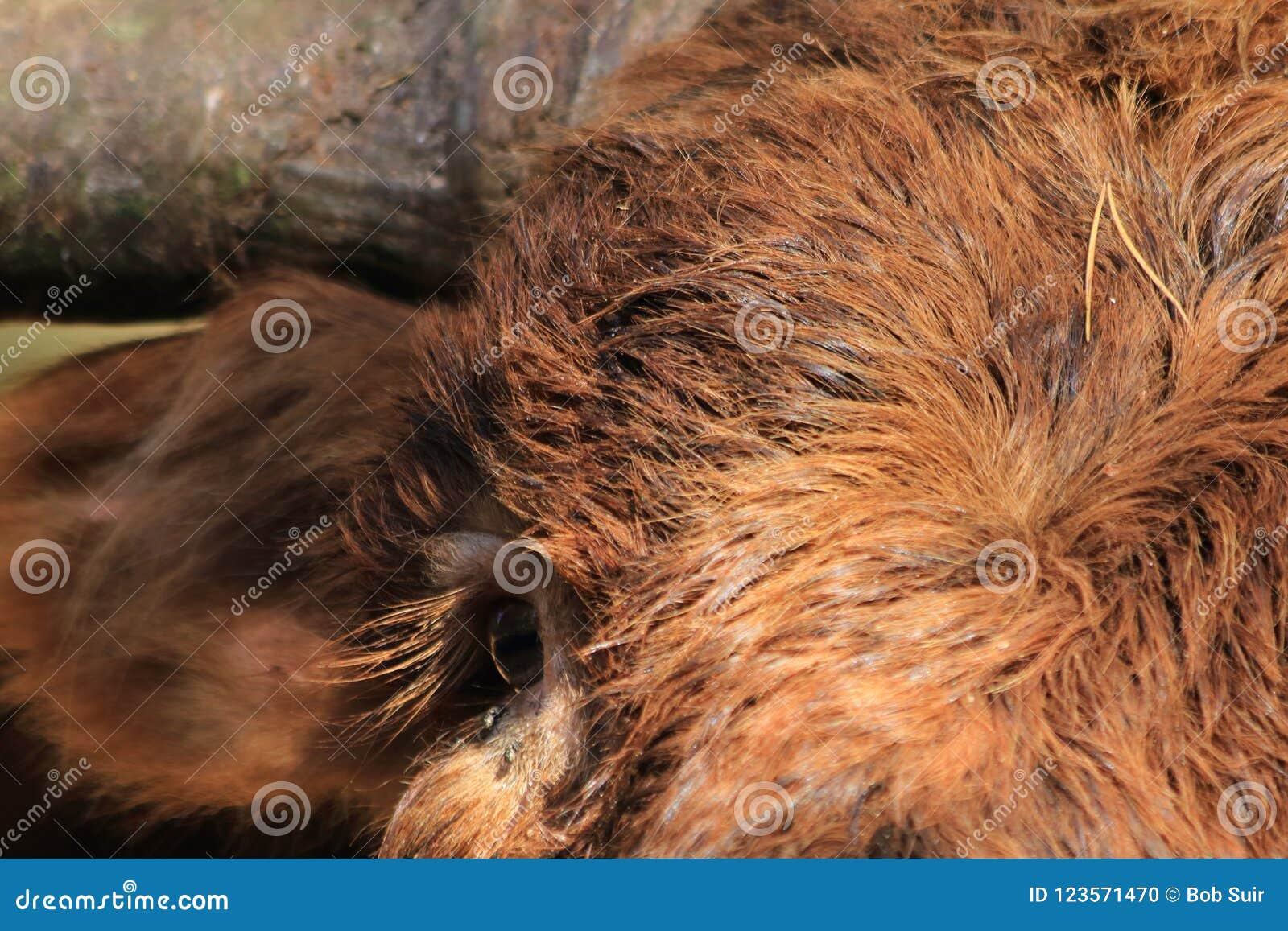 Close Up Highland Cow Eye Stock Photo Image Of Horns 123571470