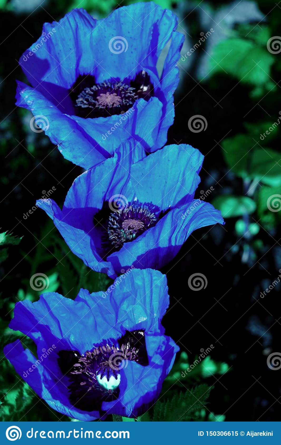 Close up of the Himalayan Blue Poppy flower