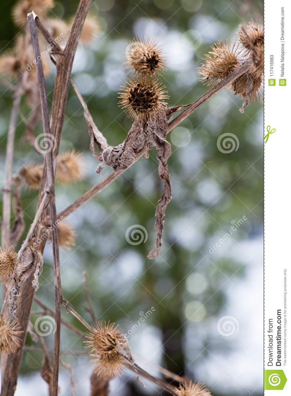 Hooked Burrs Of The Burdock Plant In Winter Stock Image - Image of