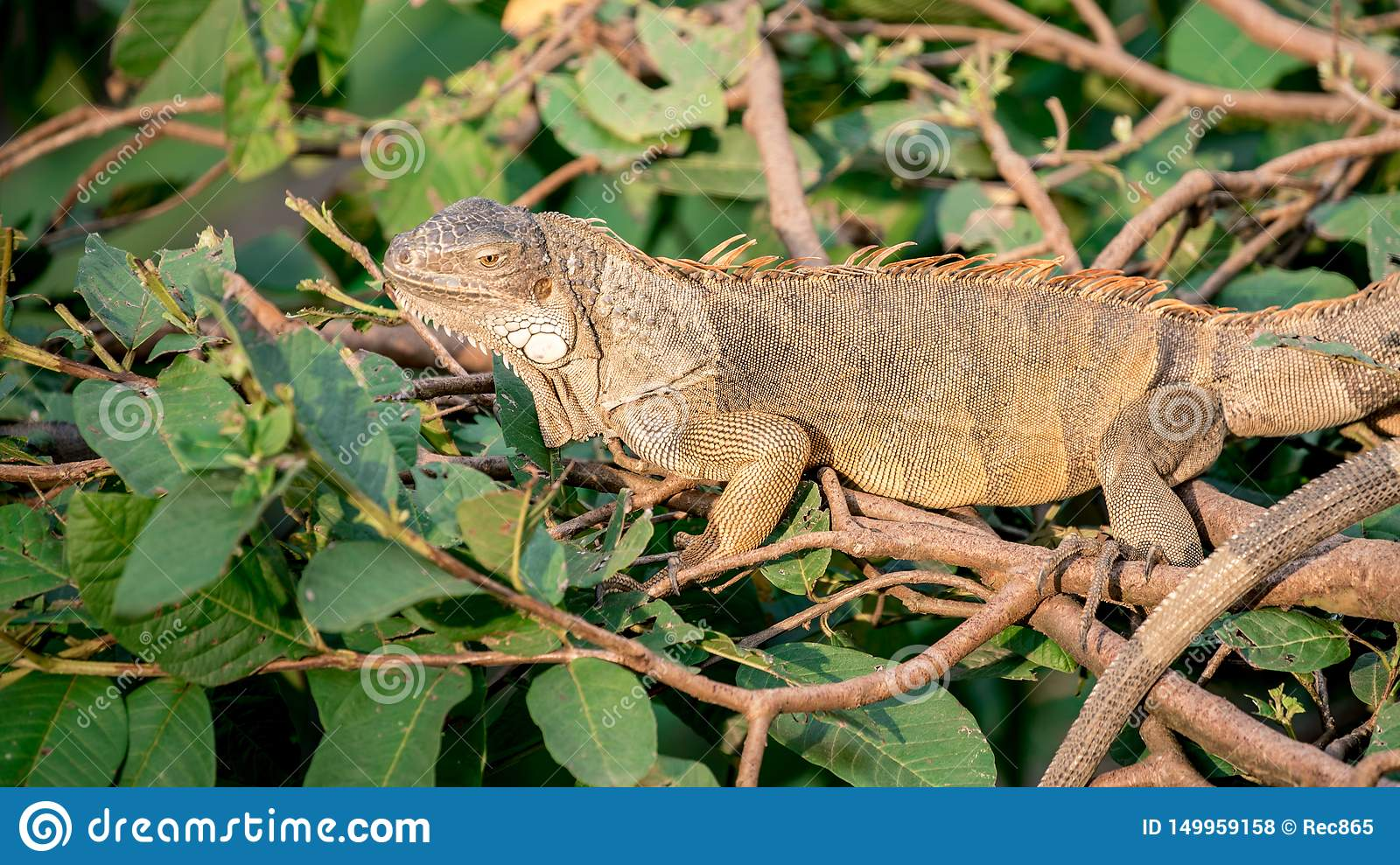 Close up of a huge Green Iguana is standing and resting on branch of tree