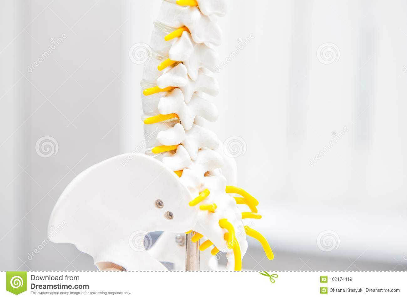 Close up human loins spine skeleton model. Medical clinic, education concept. Selective focus. Space for text
