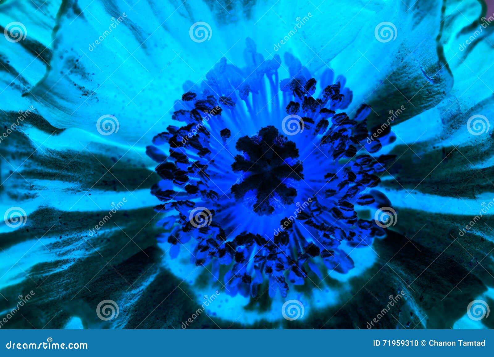 Close up of a iceland poppy flowerscientific name papaver nudic download close up of a iceland poppy flowerscientific name papaver nudic stock photo mightylinksfo