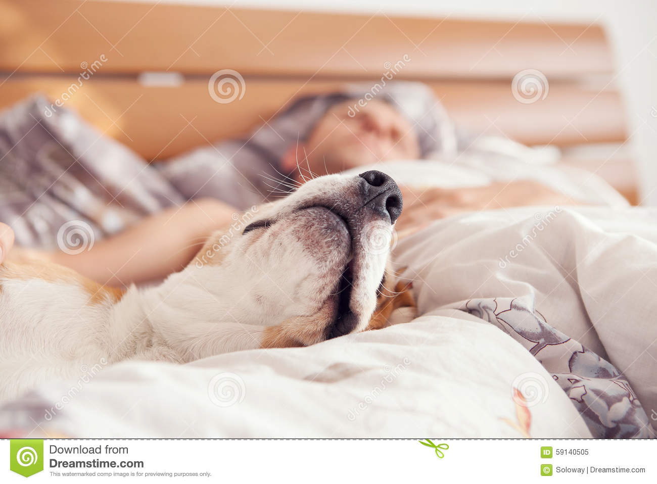 Close up image beagle snout in his owner bed