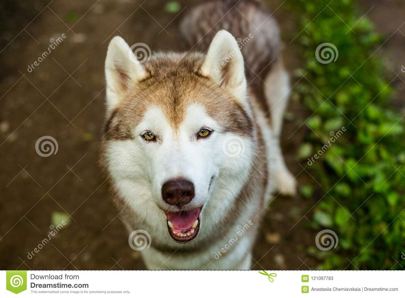 Close Up Image Of Cute Dog Breed Siberian Husky In The Forest