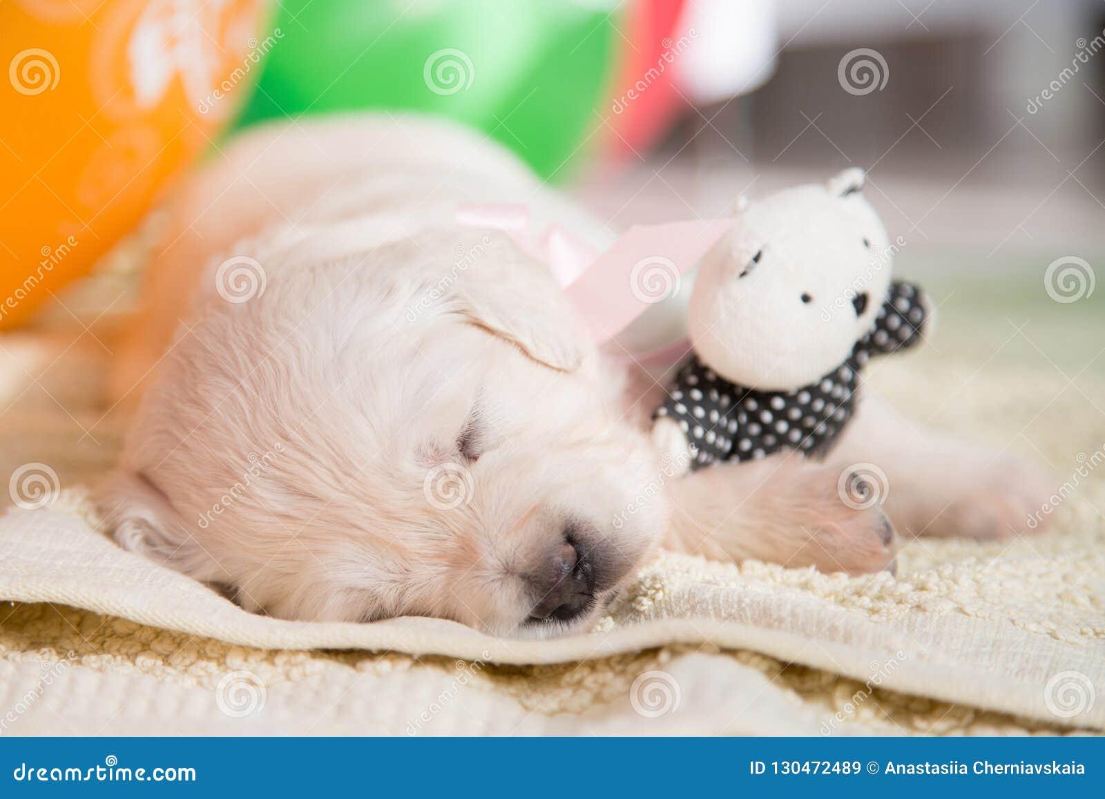 Close-up Image Of Cute Golden Retriever Puppy Sleeping ...
