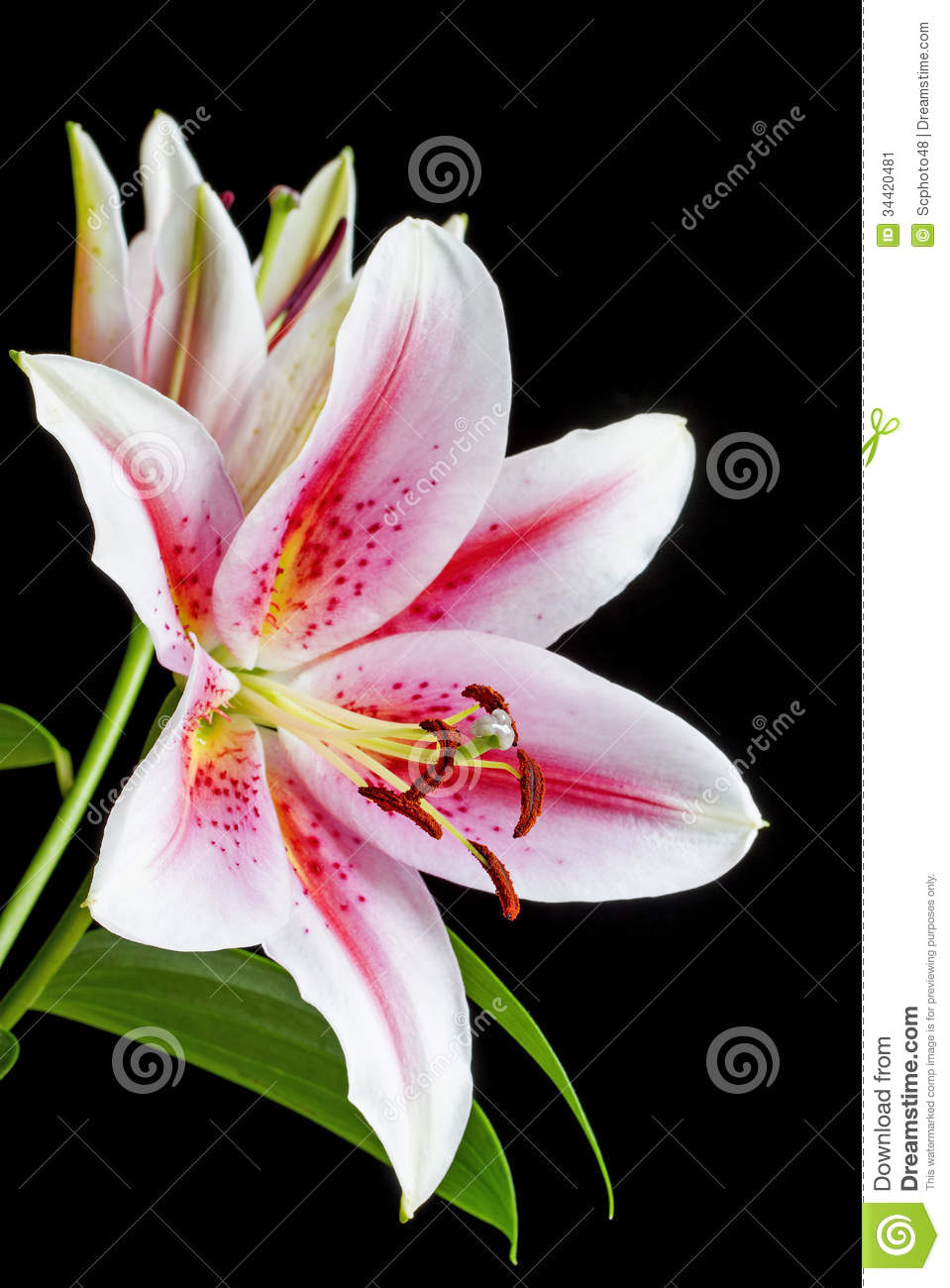 Close up image of pink and white lily stock image image of nobody close up image of pink and white lily mightylinksfo