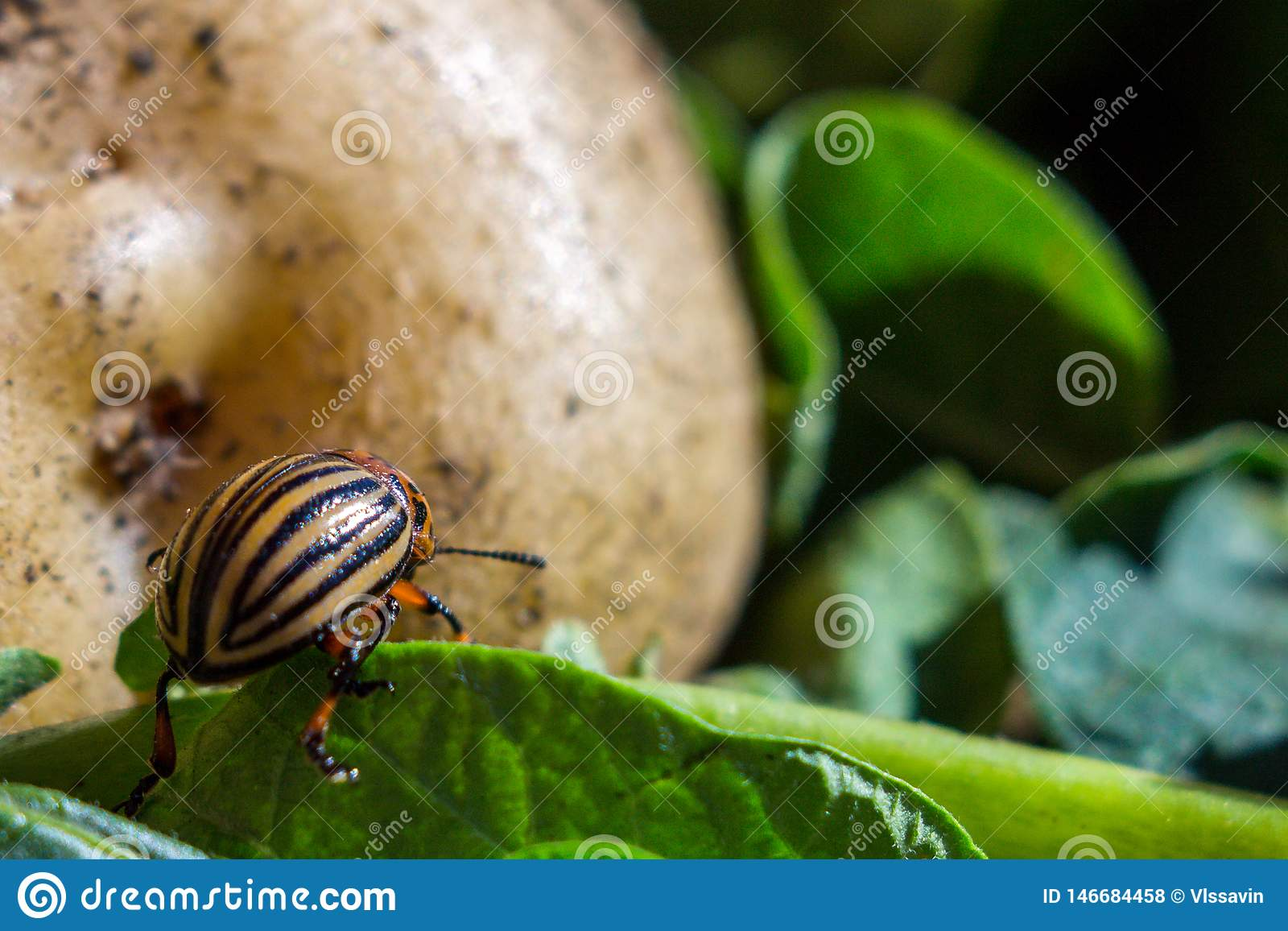 A close up image of the striped Colorado potato beetle that crawls on potatoes and green leaves and eats them