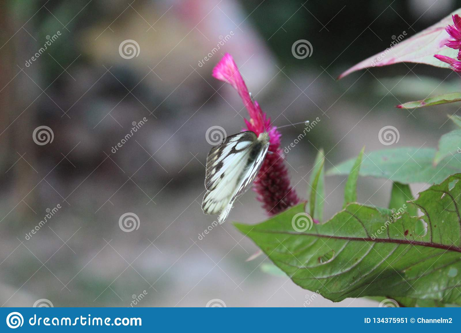 Close-up image of a stripped Pioneer White or Indian Caper White butterfly resting on pink flower