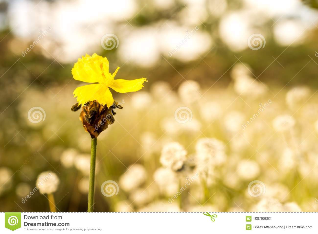Macro Image Of Yellow Wild Flower And Blur White Flowers Field
