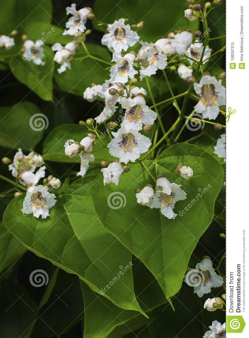 Close up of indian bean tree flowers catalpa bignonioides stock the lovely white flowers and leaves of catalpa indian bean tree against a background mightylinksfo