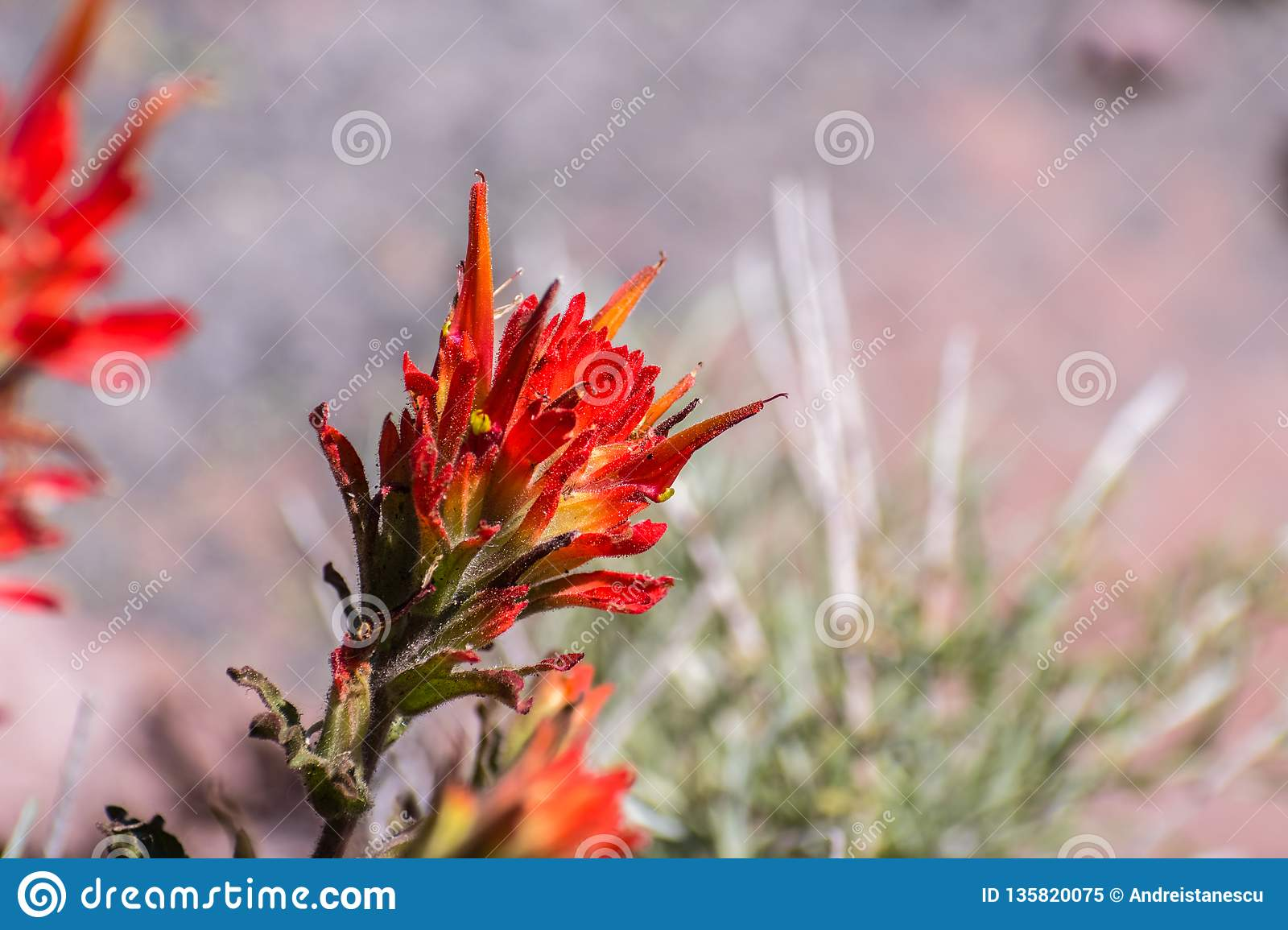 Close up of Indian paintbrush Castilleja wildflower blooming in Siskiyou County, California