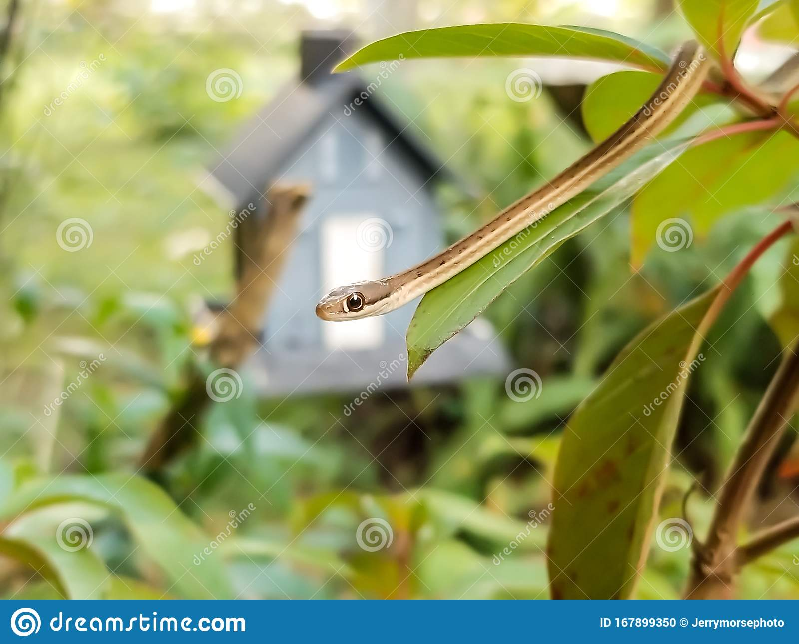Close Up Isolated Garden Snake Cute Stock Photo Image Of Large