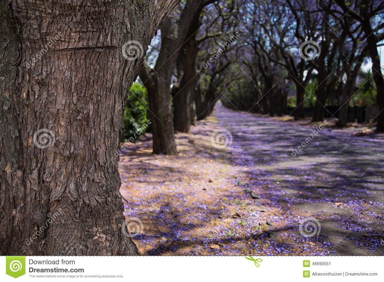 Close up of jacaranda tree trunk and street with flowers stock photo image 46690551 - Flowers that grow on tree trunks ...