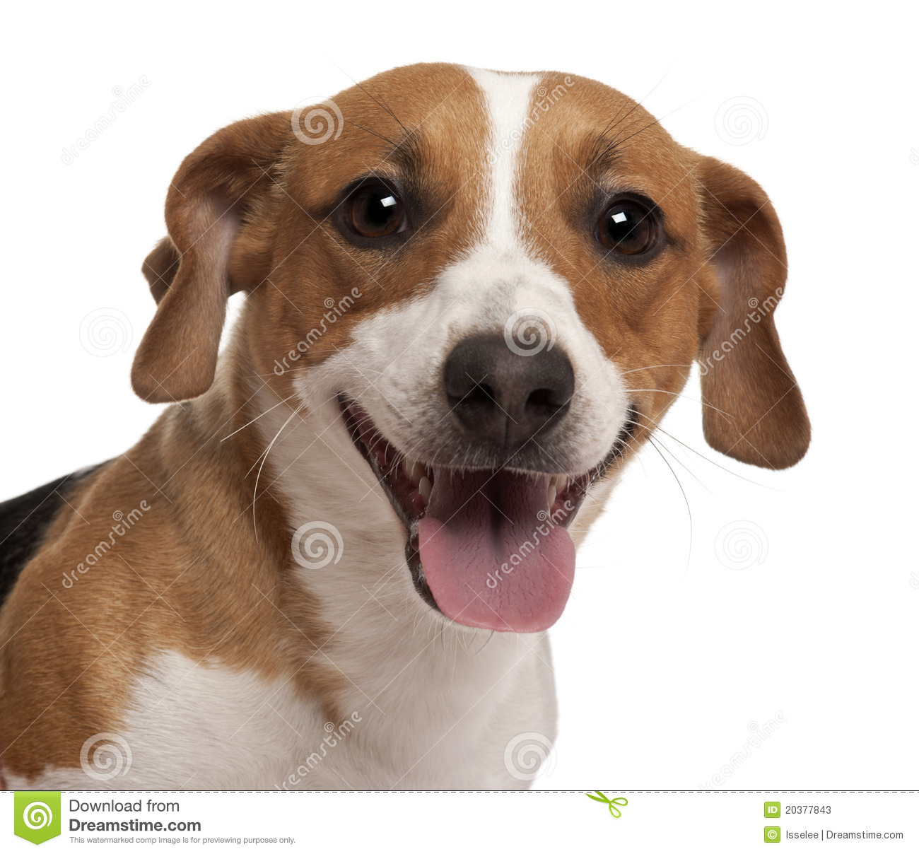 Close-up Of Jack Russell Terrier Stock Image