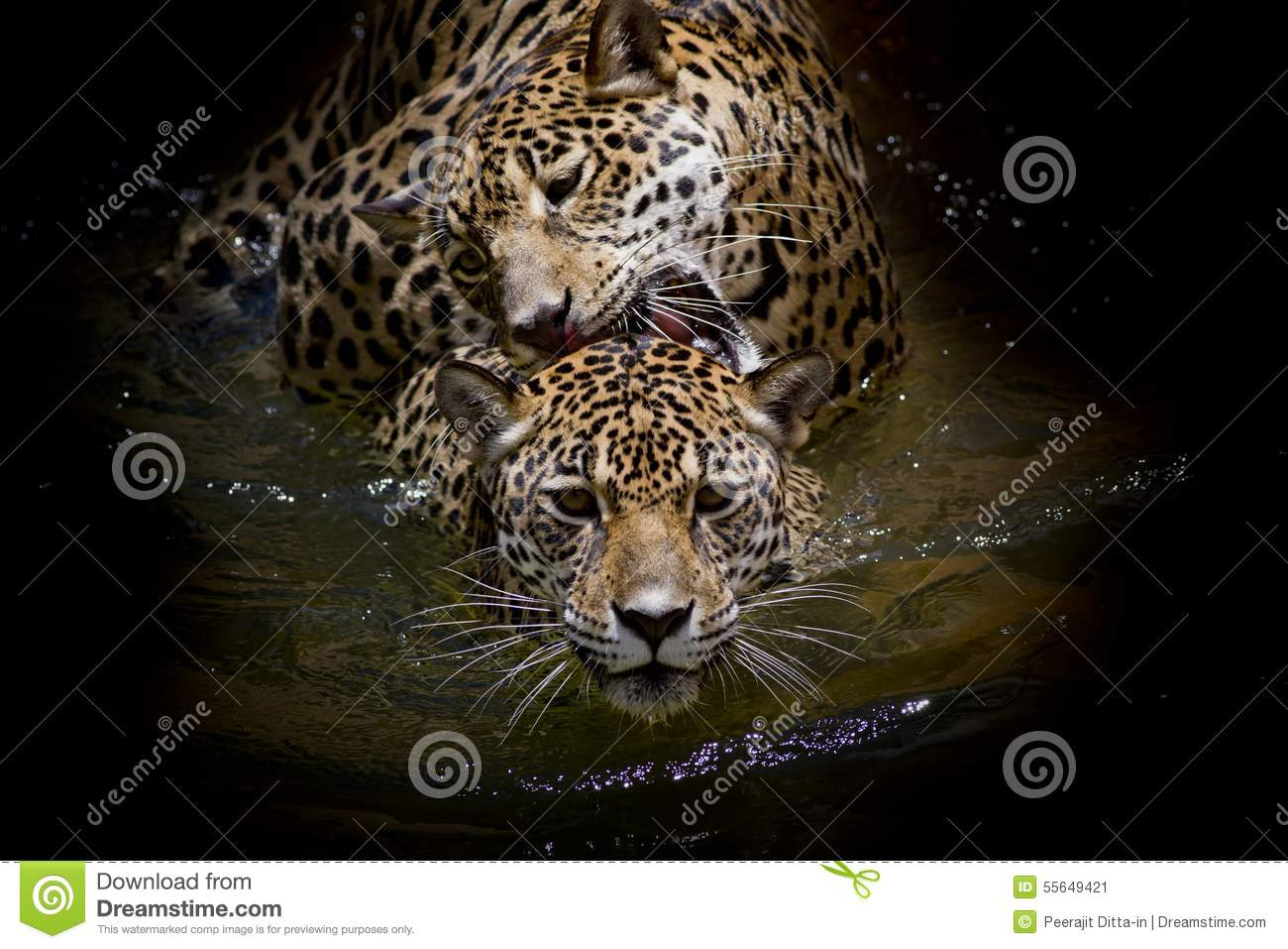 Close Up Jaguar Portrait Animal Wildlife On Black Color Background