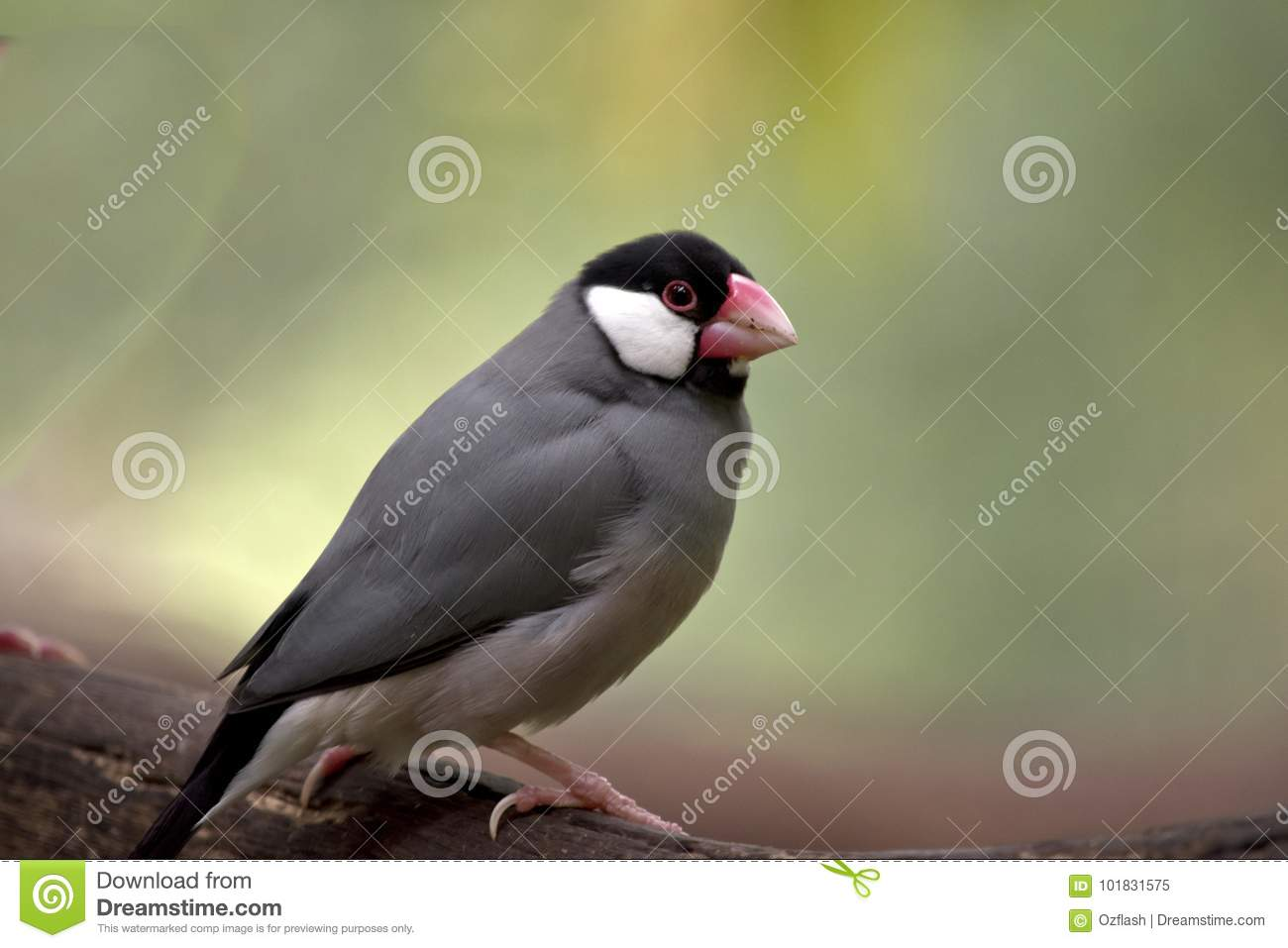 Java sparrow stock image  Image of bird, feathers, view