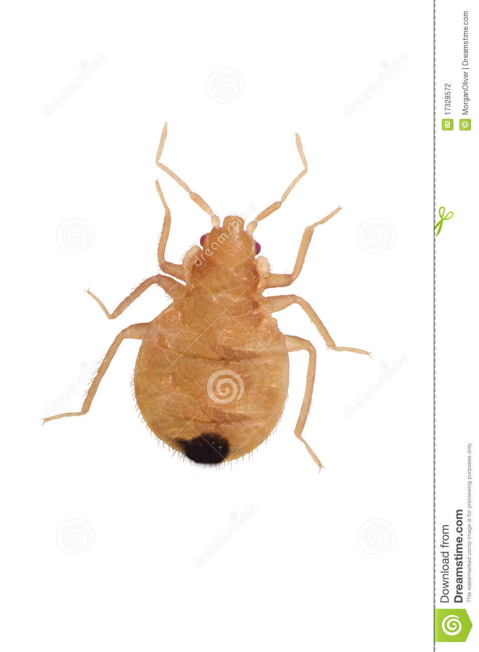 Close Up Juvenile Bedbugs Stock Photo Image Of Young 17328572