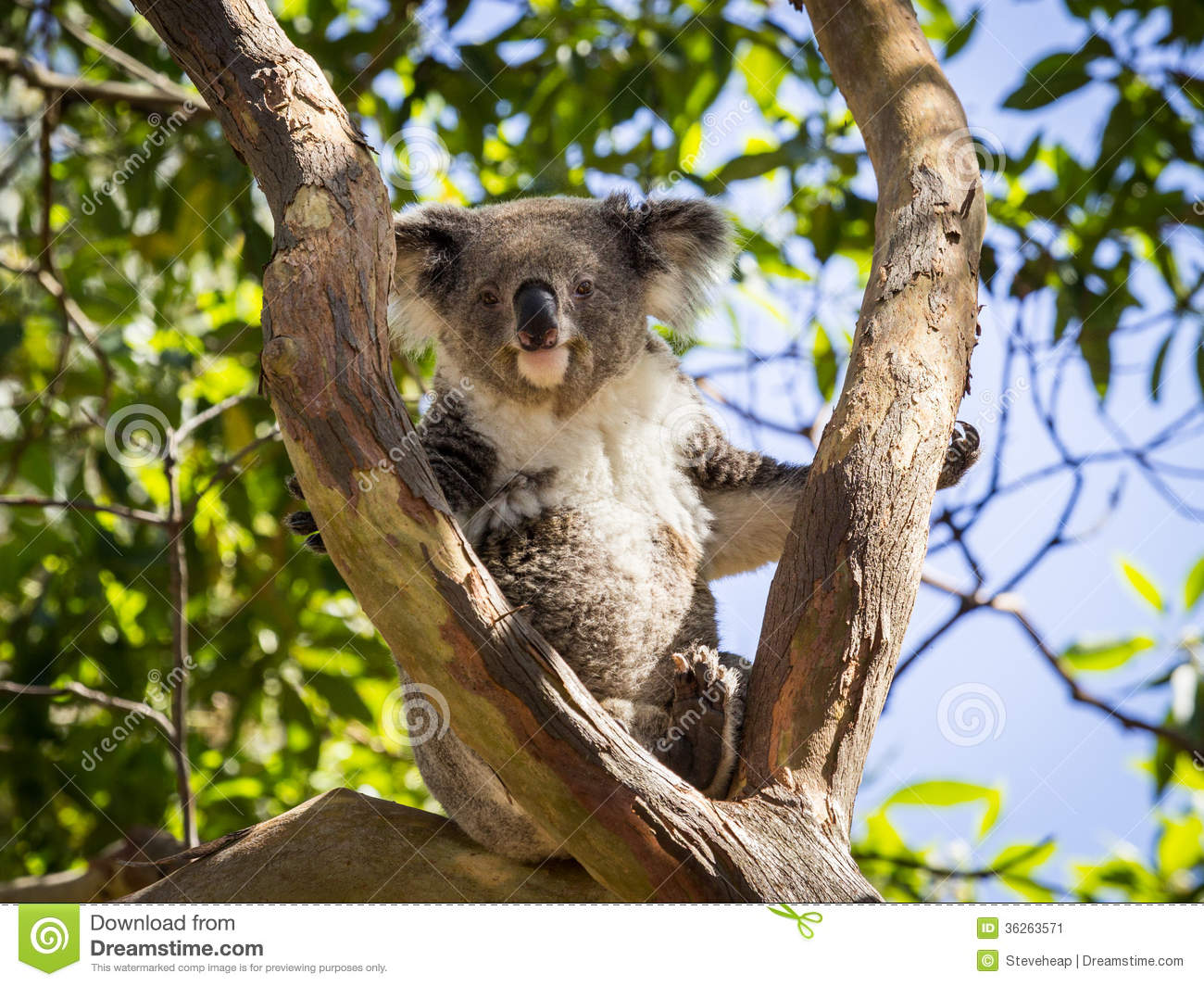 Close Up Of Koala Bear In Tree Stock Image - Image: 36263571