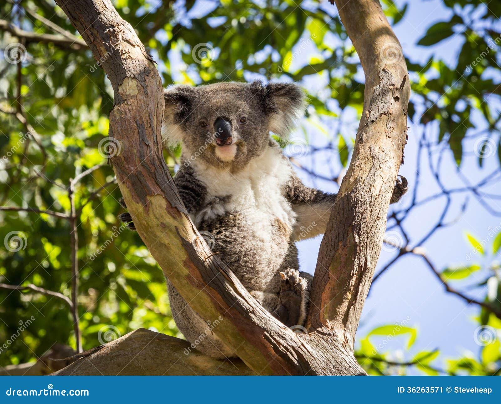 [Aventura]: Os Escolhidos - Página 6 Close-up-koala-bear-tree-australian-seated-resting-zoo-looking-towards-camera-hint-smile-its-cute-36263571