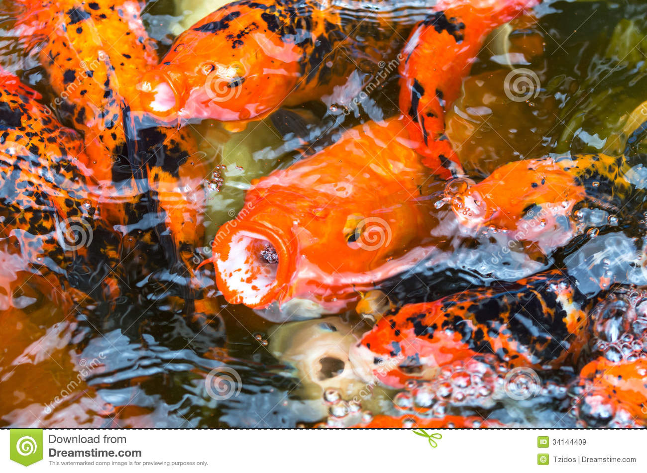 Close up koi fish in the fish pond royalty free stock for Golden ornamental pond fish crossword