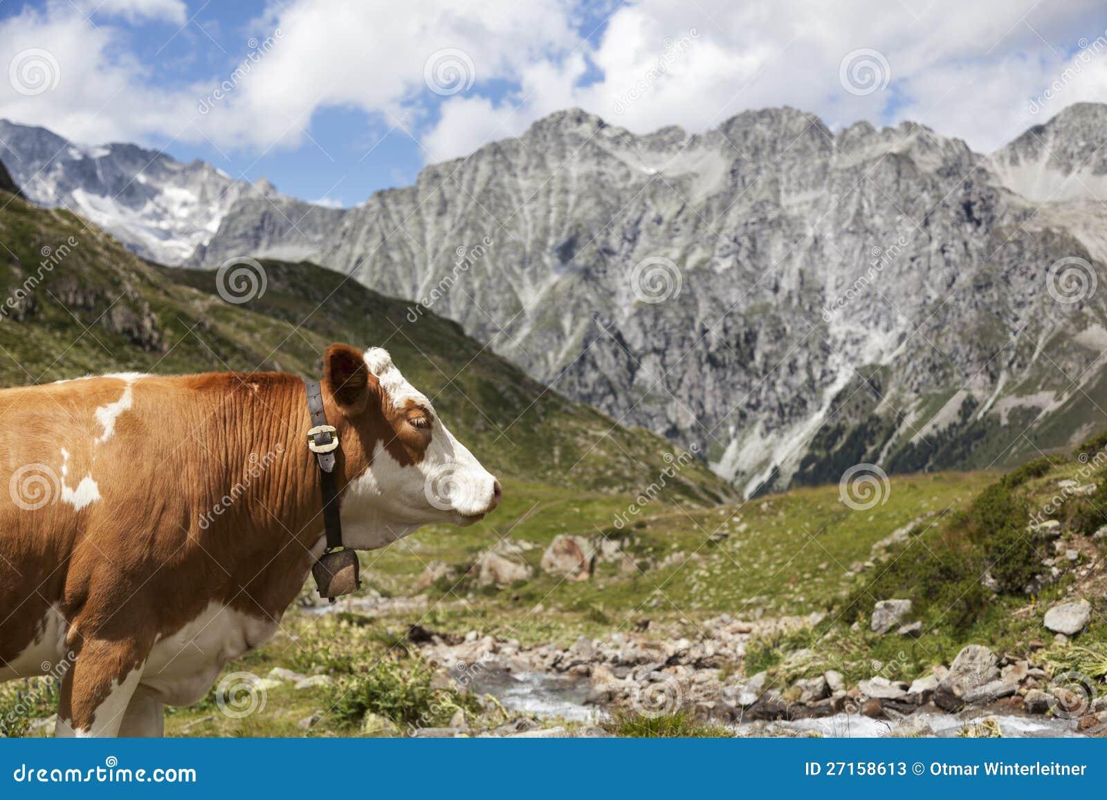 Close-up krowa w Austriackich/Włoskich Alps.