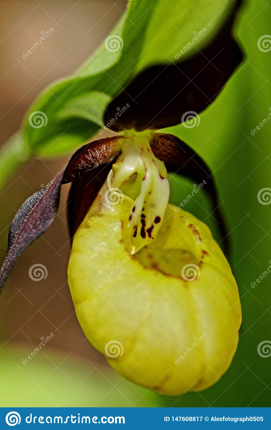 Close up of a lady`s-slipper orchid flower