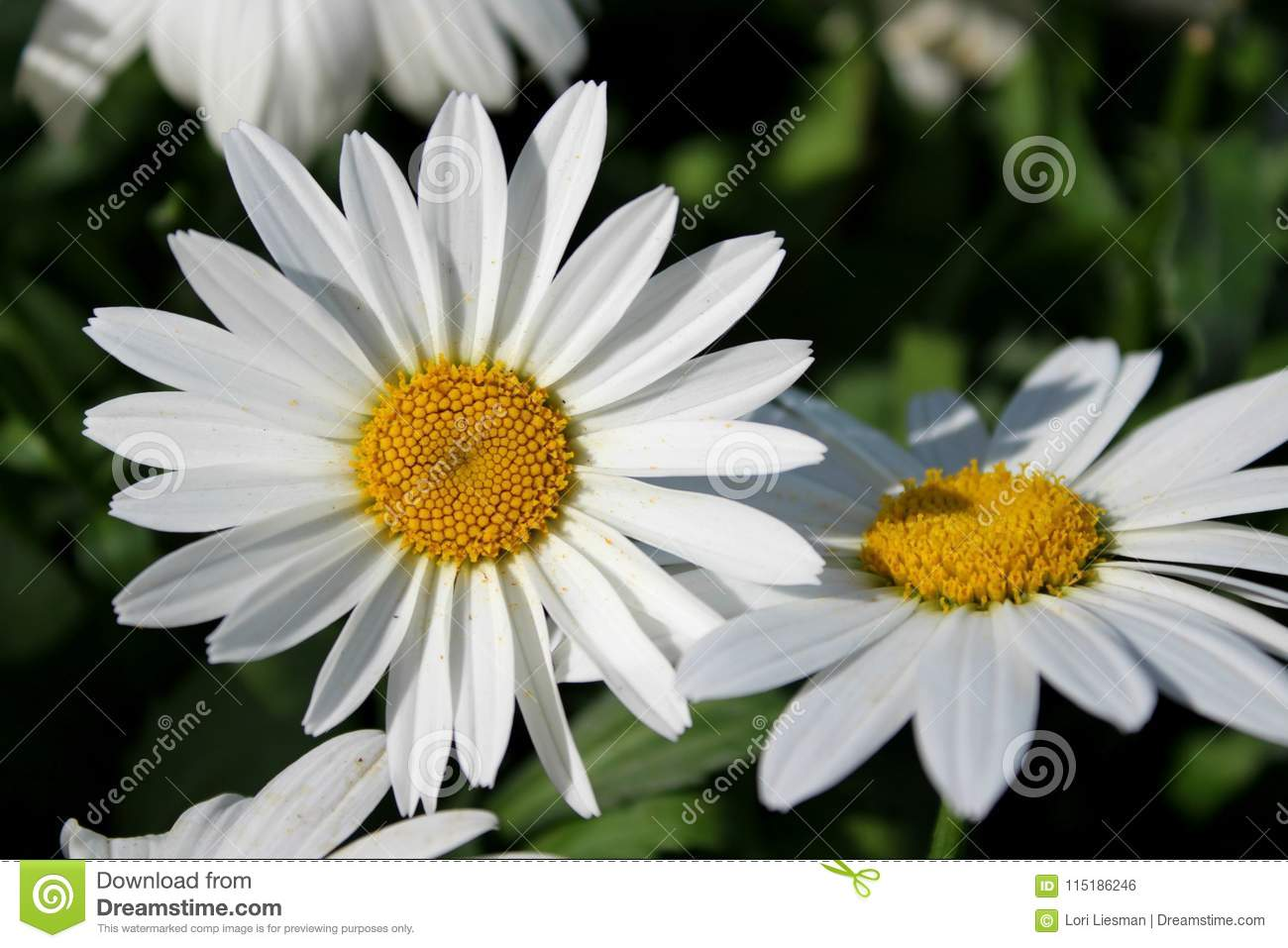 Close Up Of Large Daisy Flowers In A Garden Stock Photo Image Of