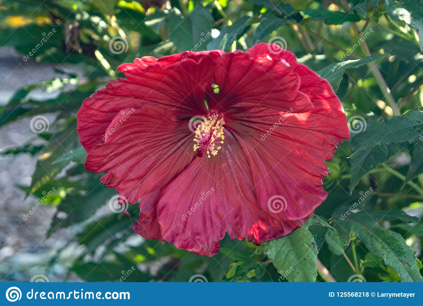 Close up of a large hibiscus flower stock photo image of a close up of a large hibiscus flower growing in a local neighborhood garden izmirmasajfo