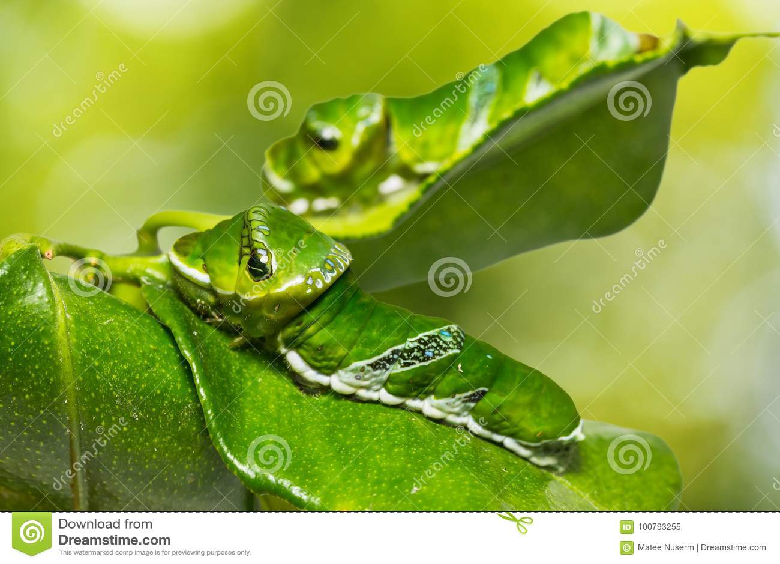 Great Mormon Papilio memnon caterpillar