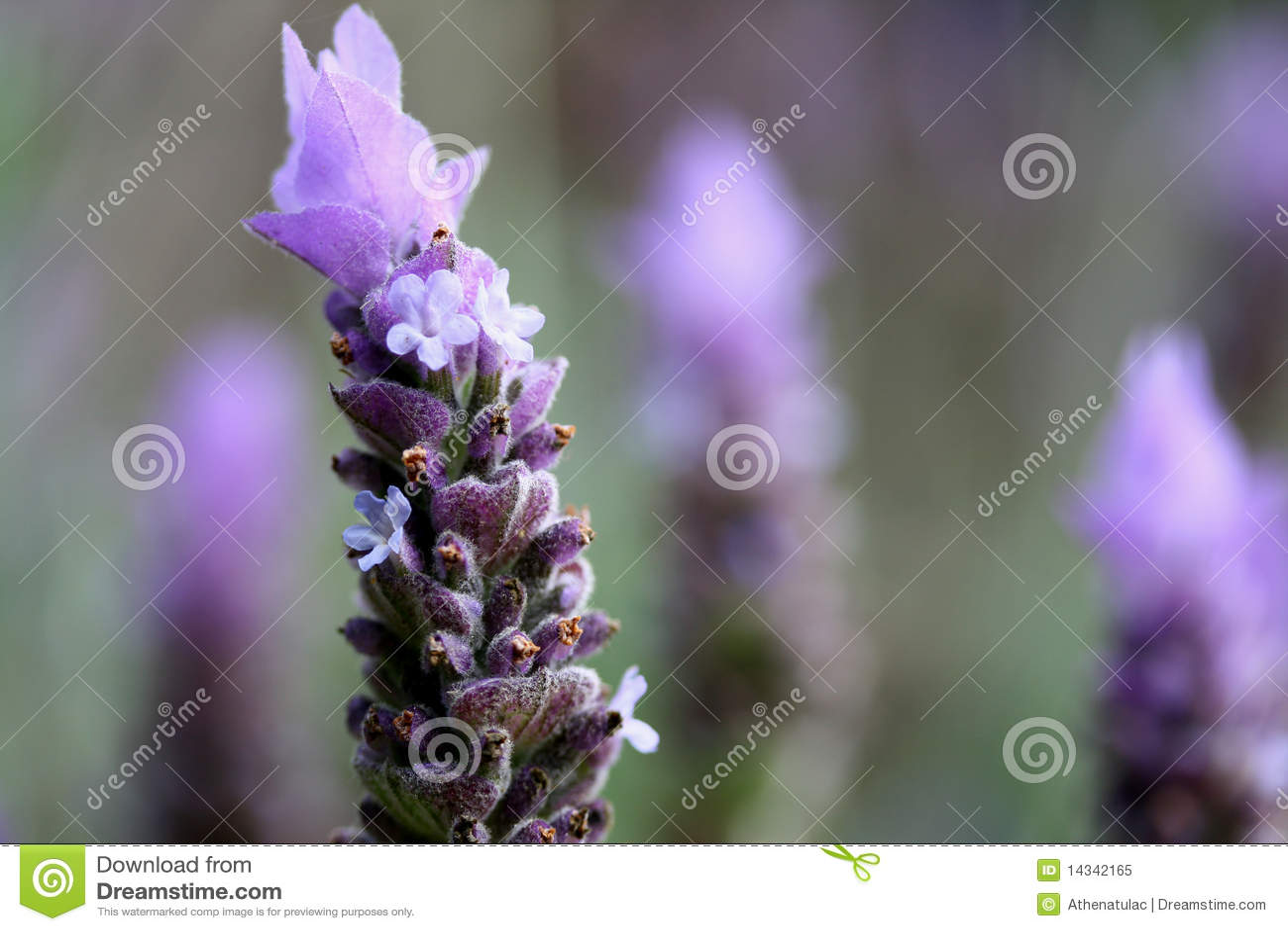 Pictur erepresents close uo of lavender flower Lavender Flower Close Up