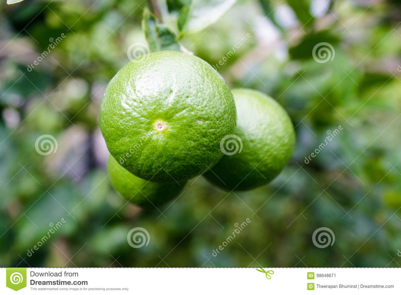Close up lemon tree, green lime tree,Green lime tree hanging branches
