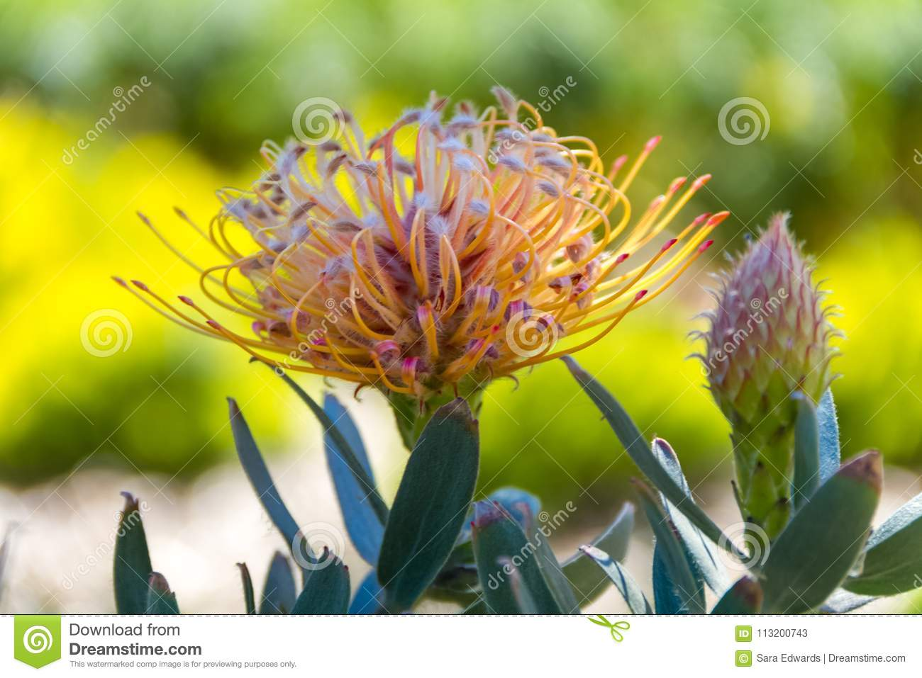Close-up of a Leucospermum flower- also known as limestone pincushion- a native of South Africa, and bud
