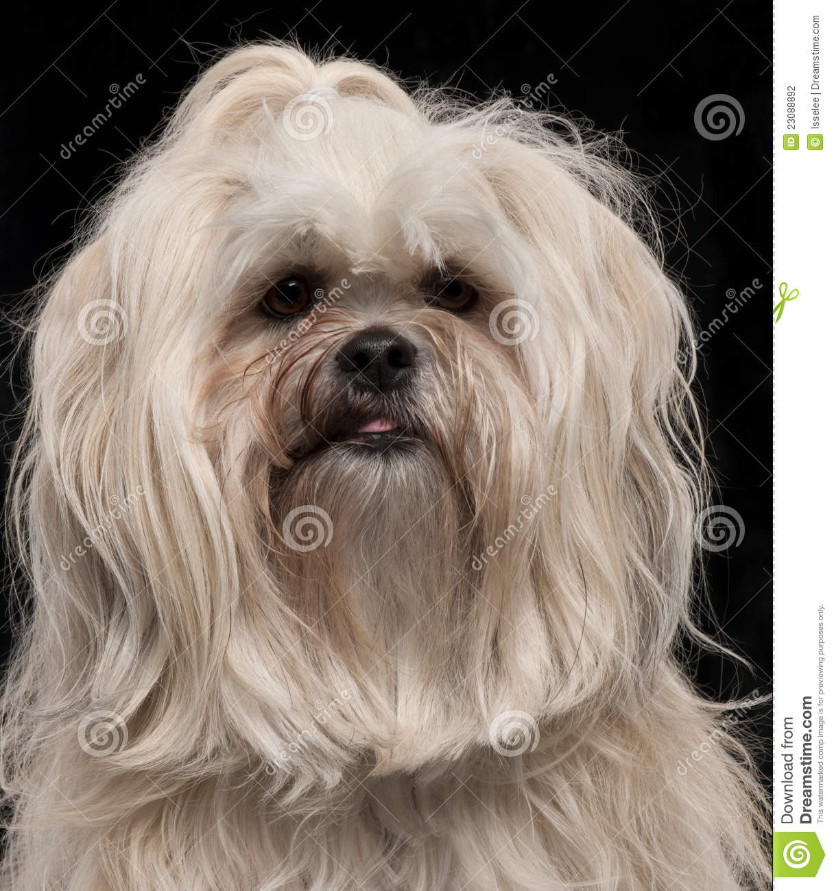 Lhasa Apso 2 Years Old Close-up of Lhasa Apso  2 and