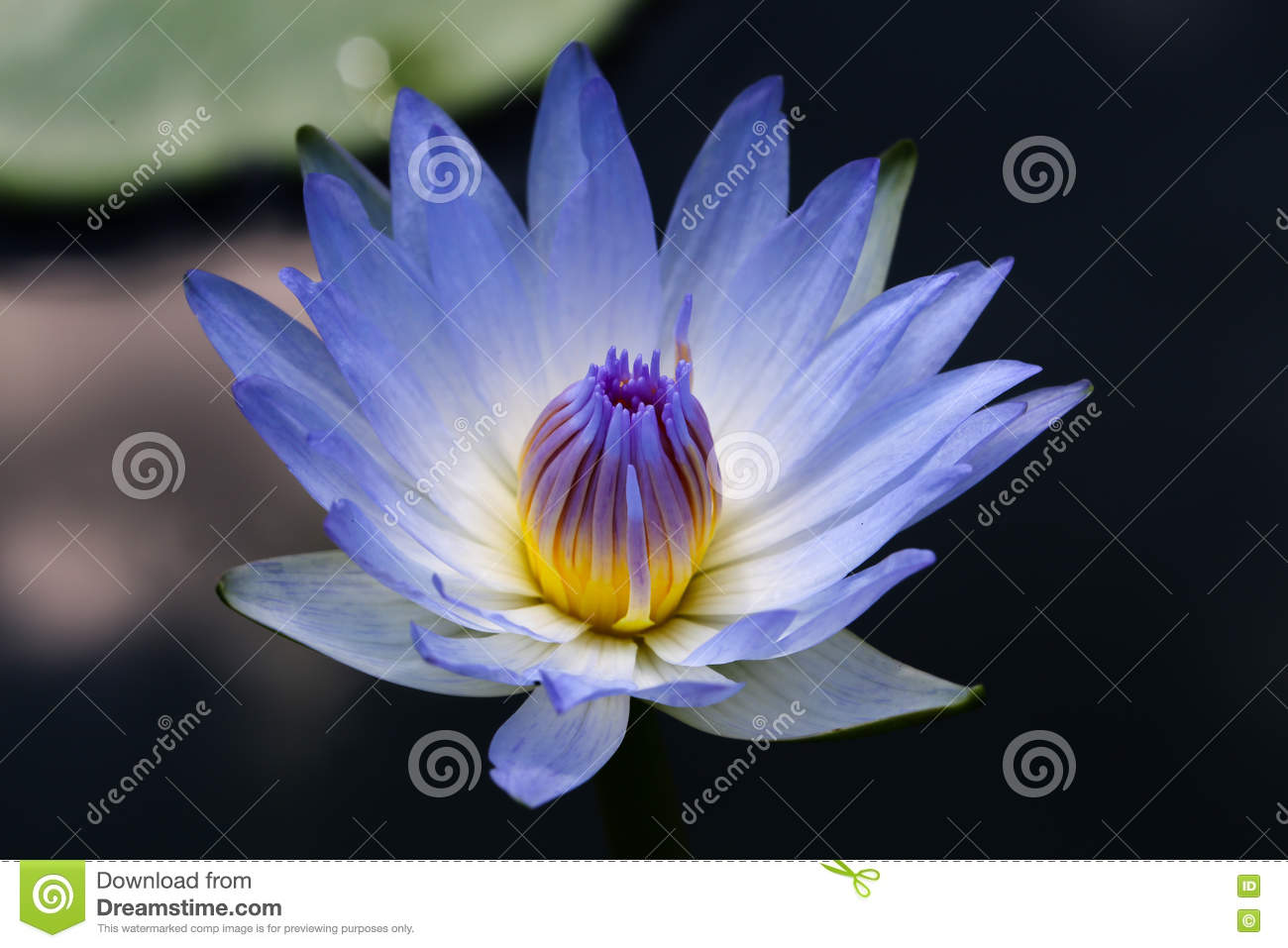 Close Up Light Blue Blooming Waterlily Or Lotus Flower Stock Photo ...