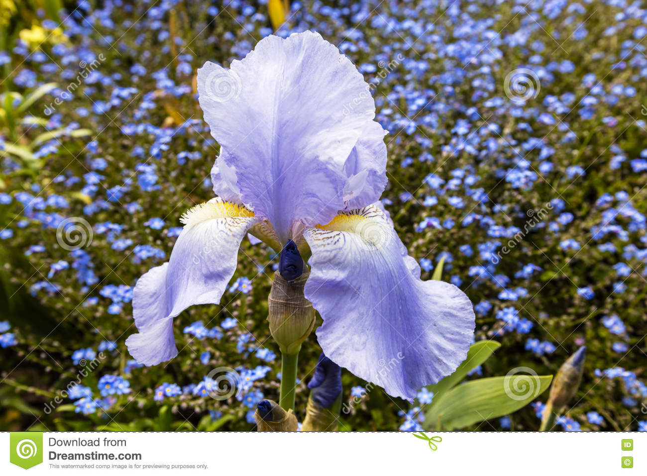 Close up of a light blue iris flower stock photo image of natural royalty free stock photo izmirmasajfo