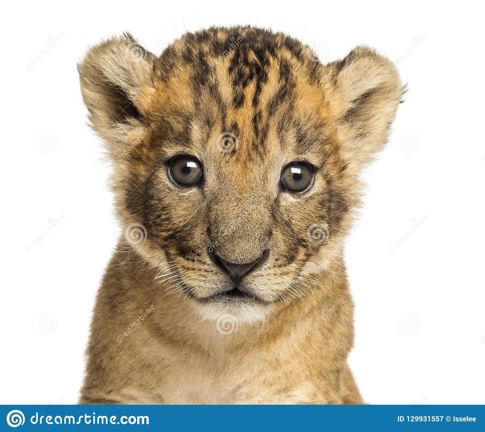 Close-up of a Lion cub, 4 weeks old, isolated
