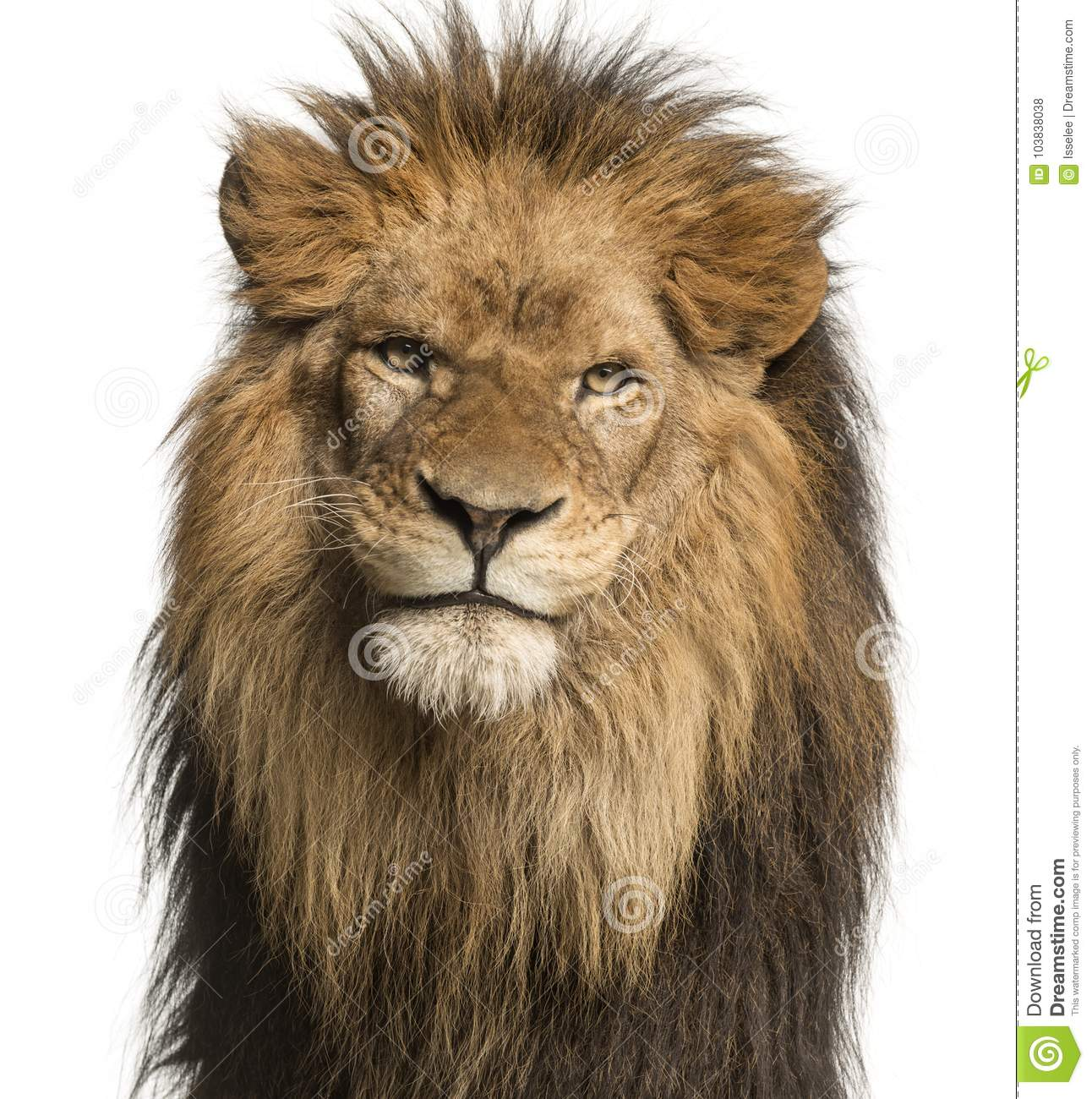 Close-up of a Lion facing, Panthera Leo, 10 years old, isolated