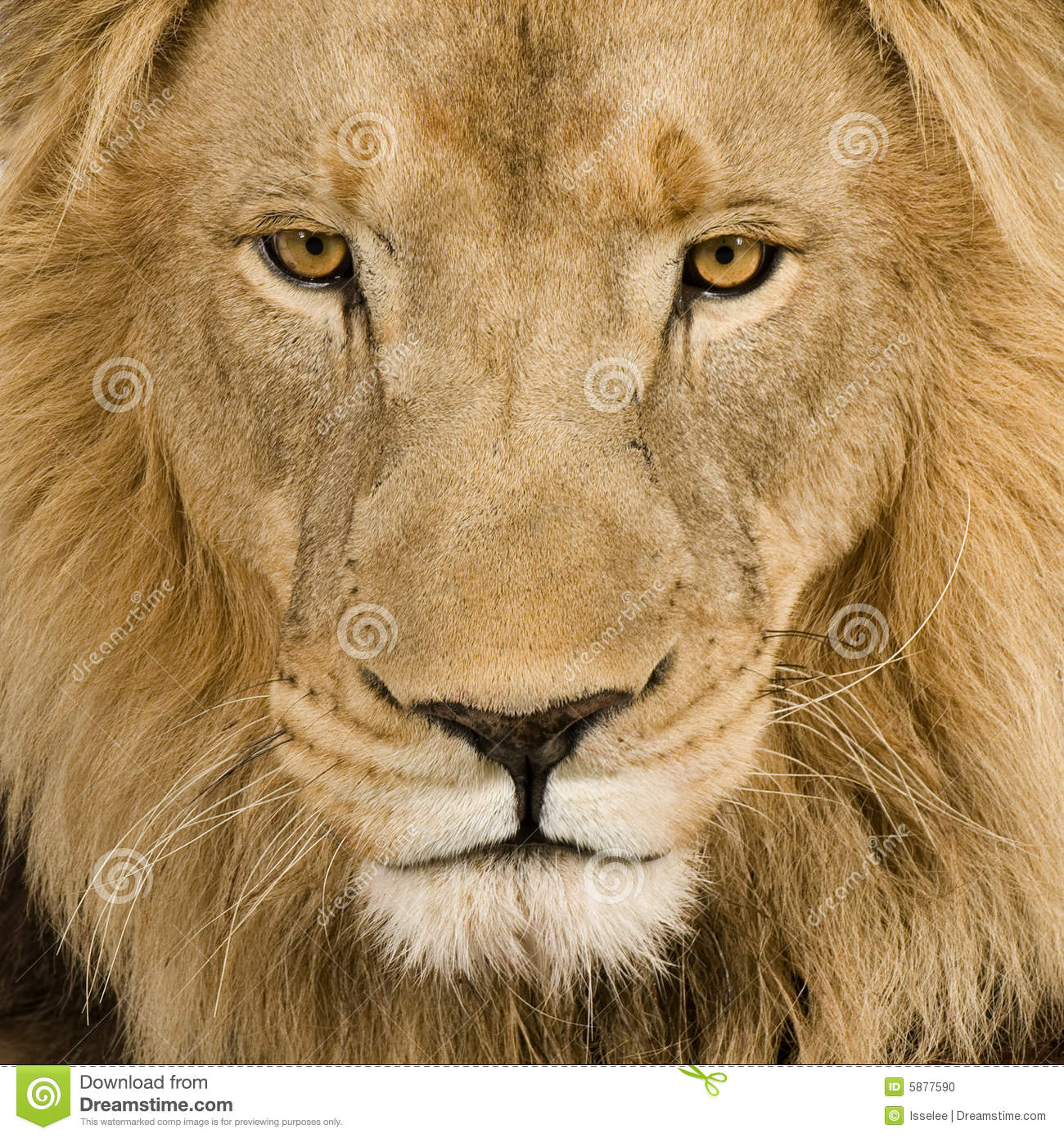Close-up on a Lion s head (4 and a half years) - P