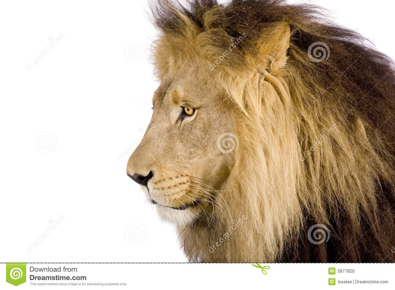 Close-up On A Lion's Head (8 Years) - Panthera Leo Stock ...