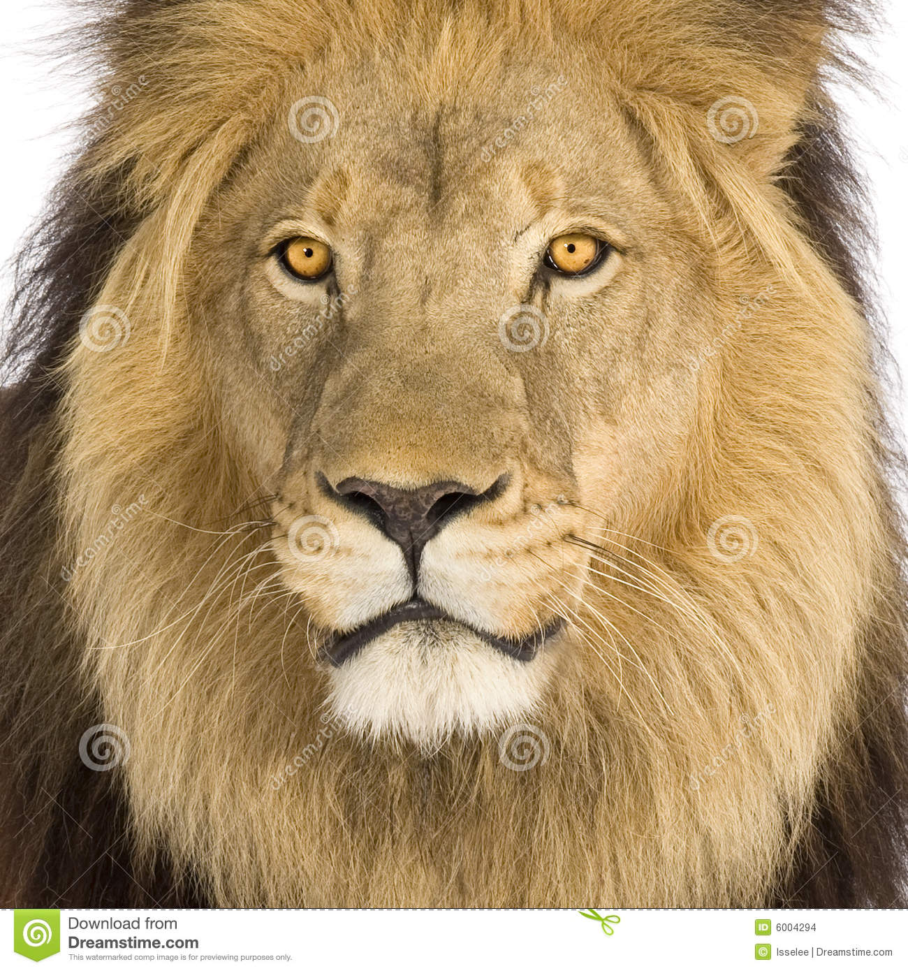 8k Animal Wallpaper Download: Close-up On A Lion's Head (8 Years)