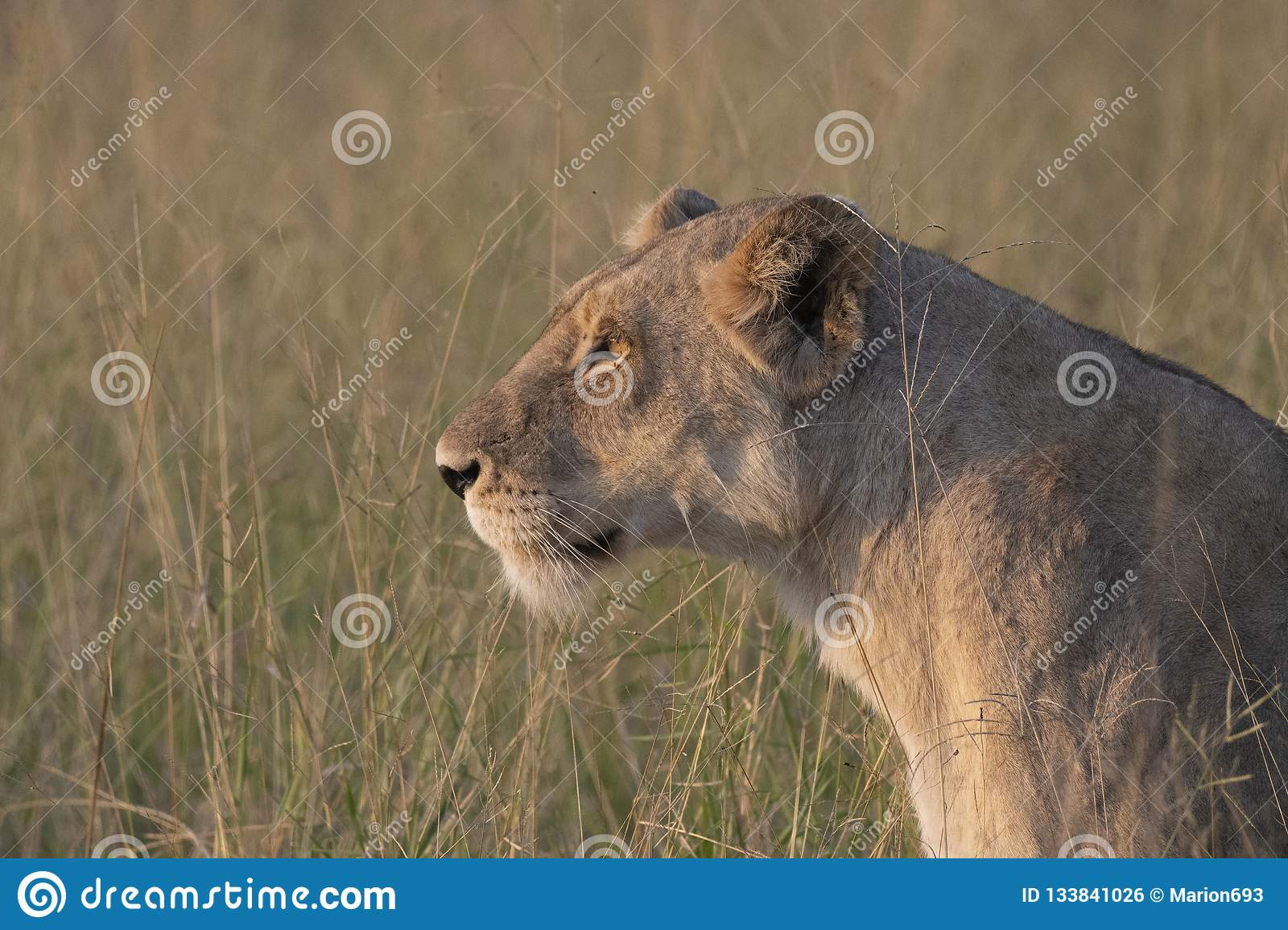 Close up of Lioness head as she looks to the left with evening sun shining on her fur