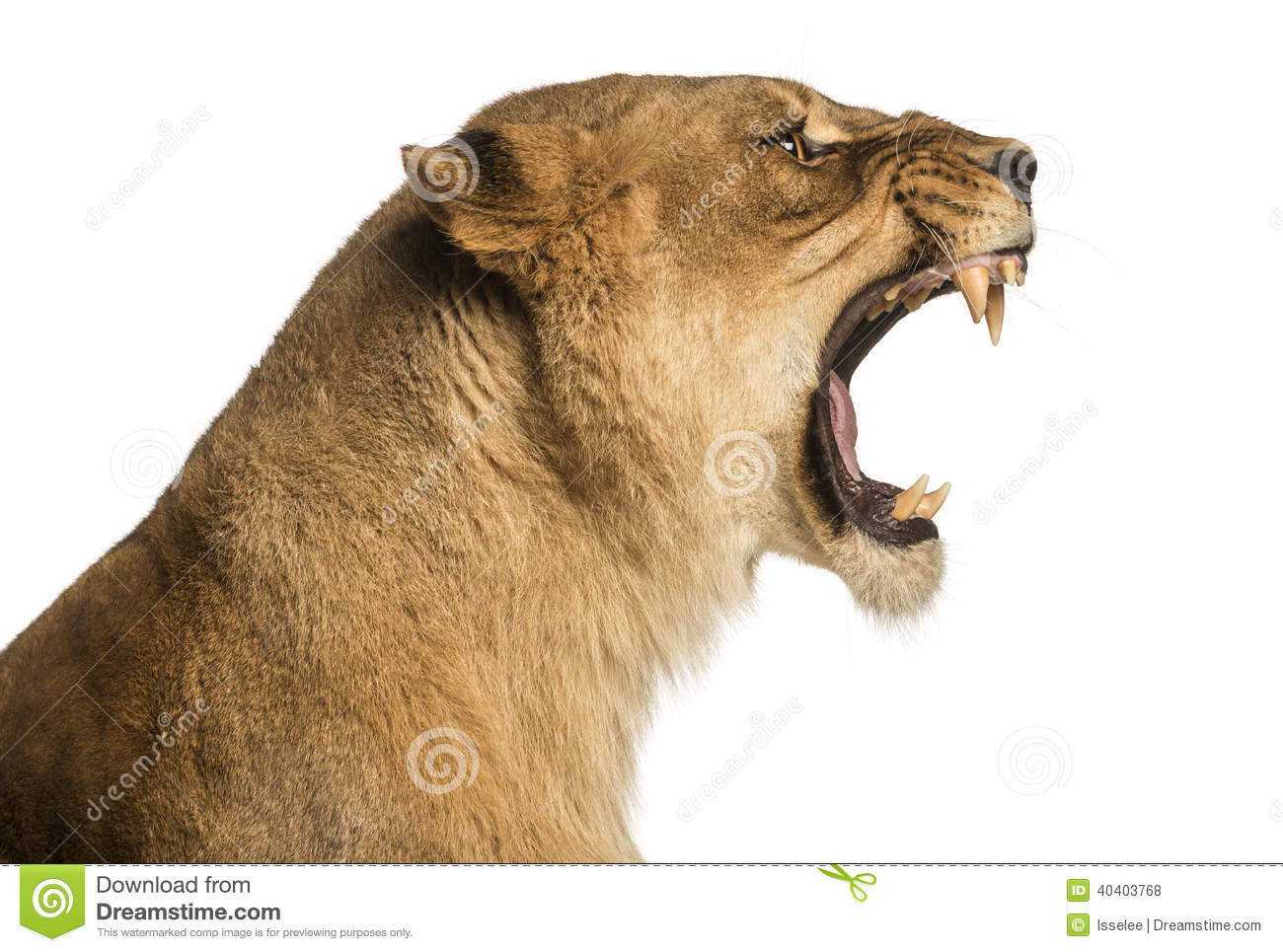 Close-up of a Lioness roaring profile, Panthera leo