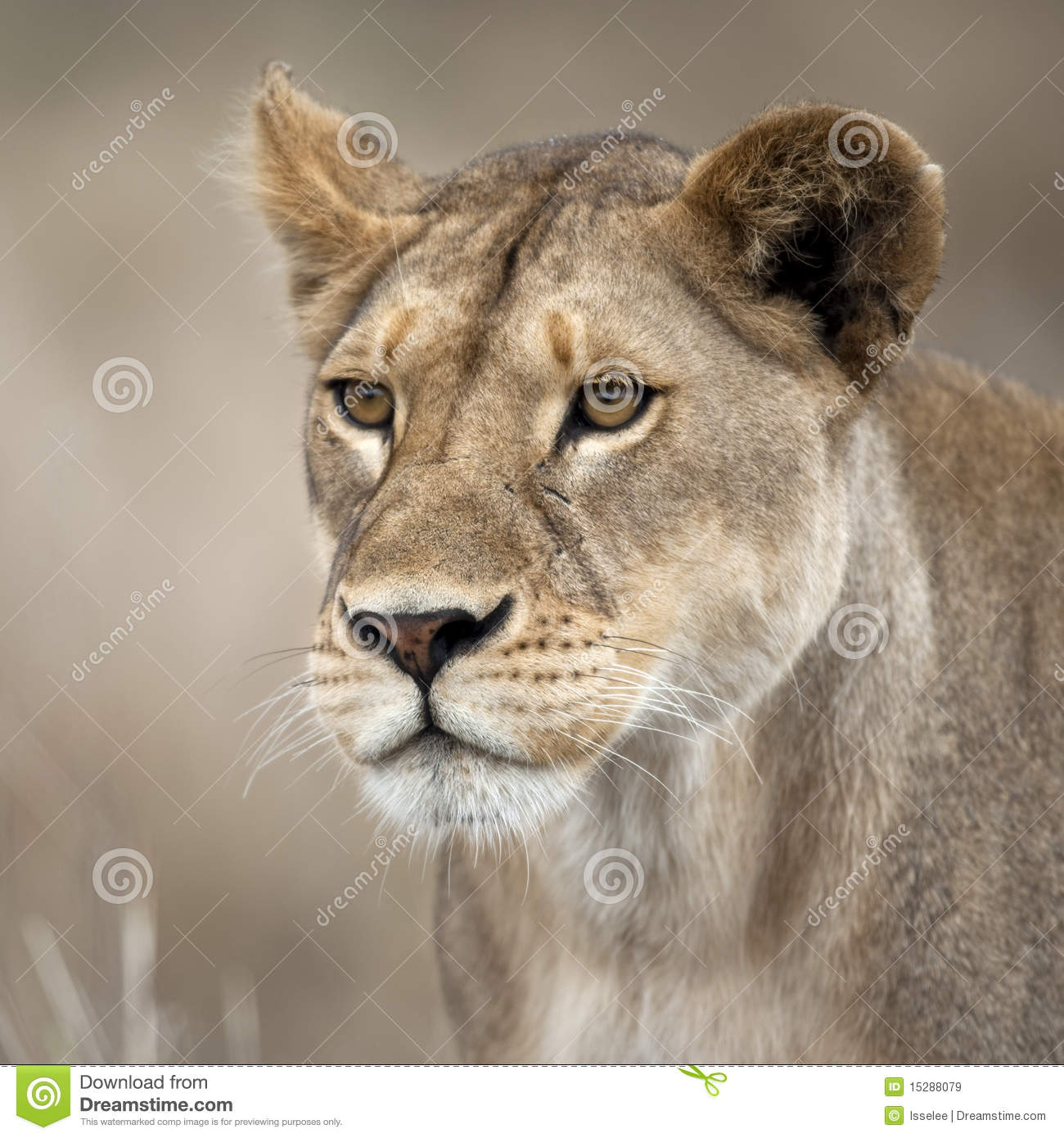 Close-up Of Lioness In Serengeti, Tanzania, Africa Royalty ...