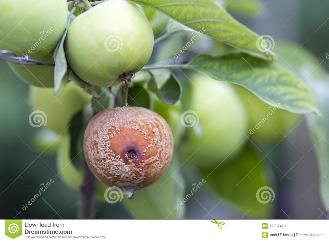 Close-up of lit by bright sun brunch with nice big ripe green and bad rotten apples in orchard on soft foggy colorful background.