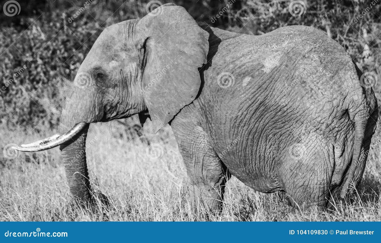 Lone Elephant Black And White Tsavo West National Park Kenya Africa