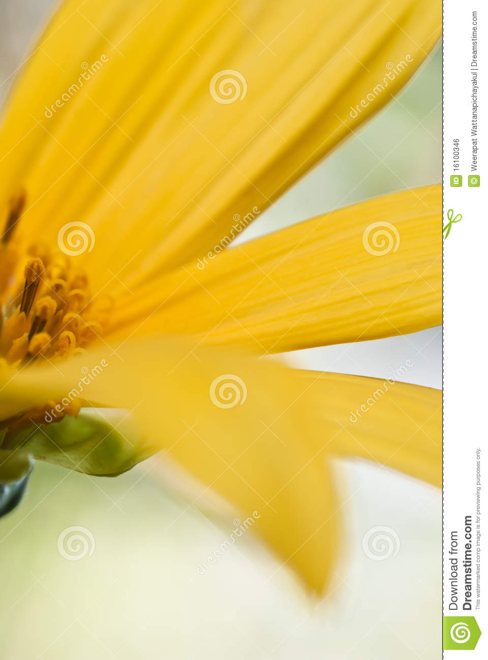 Download Close Up Of Local Sunflower Stock Photo - Image of botany, form: 16100346
